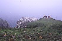 Der Vogelfelsen von Cape St. Mary's