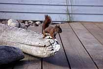 Eichhörnchen am Besucherzentrum