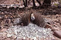 Bower-Bird Nest