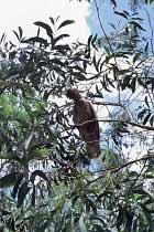 Junger Kakadu