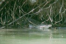 Gut versteckt, Saltie am East Alligator River