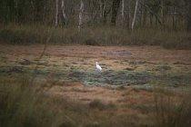 Ein Egret auf Beutefang