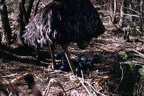 Emu mit Eiern