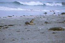 Australische Seelöwen