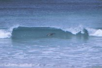 Australischer Seelöwe