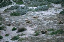 Seelöwen in den Dünen