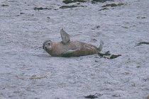 Junger australischer Seelöwe
