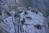 Neuseeländische Seebär