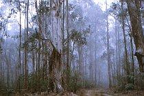 Eukalyptusbaume in den Wolken