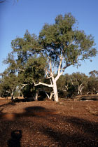 Eucalyptusbaum