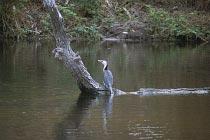 Cormurant am Coen River