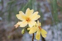 Blüte des Kapokbaum