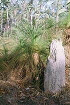 Grassbaum und Termitenhügel