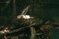 Python sonnt sich im Bush