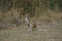 Kangaroo mit Joey