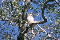 Blue-Wing Kookaburra