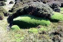 Cushion Plant