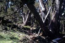 Im Pencil Pine Wald
