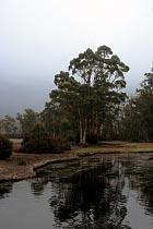 Baum am Narcissus River
