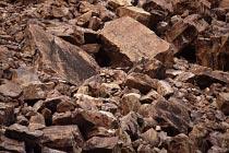 Schwarzfüssige Felswallabies verstecken sich hier