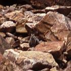Schwarzfüssiges Felswallaby