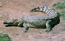 Saltie im Crocodylus Park
