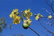 Blüte des Kapok-Baums