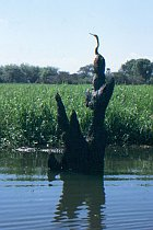 Darter und Krokodil