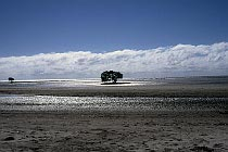 Einsame Mangrove an einem Strand