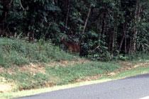 Cassowary am Strassenrand